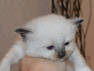 Shapur Fox, 4 uker