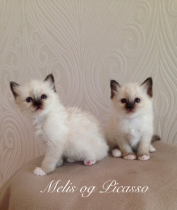 Picasso and Melis, 6 weeks - are going to Bodø- together in the same home. :)