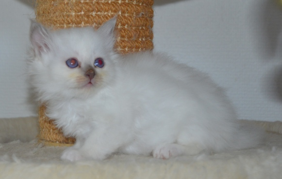 Shapur Violeta, 6 weeks